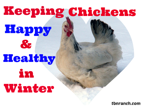 winter-chicken-keeping-cover