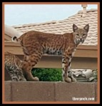 bobcat-122016