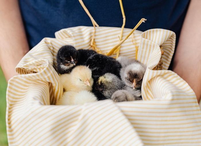 Raising Baby Chicks the First SevenWeeks