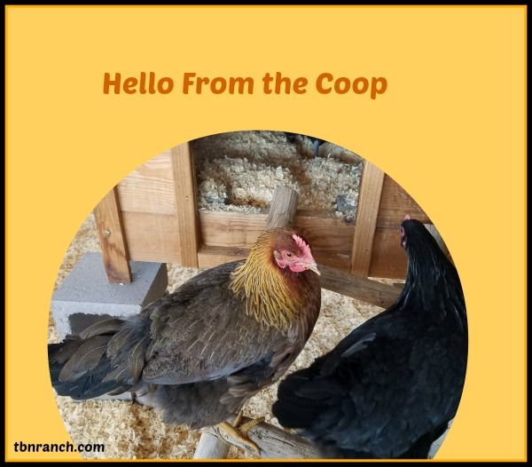 hello-from-the-coop