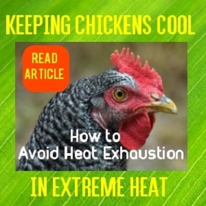 Keeping Chickens Happy in Hot Weather