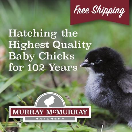 McMurrayHatchery-QualityDayOldBabyChicks-600px