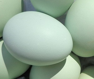 Easter Egger Blue-green egg