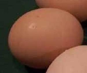 Wyandotte Egg